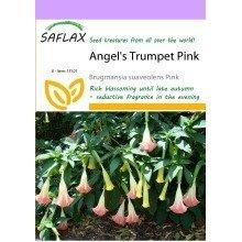 Saflax  - Angel's Trumpet Pink - Brugmansia Suaveolens Pink - 10 Seeds
