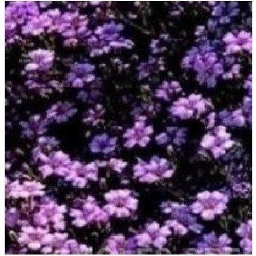 Flower - Saponaria Ocymoides - Soapwort - 400 Seeds