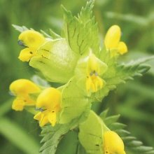 1200 Yellow Rattle Wildflower Seeds | Rhinanthus Minor Seeds