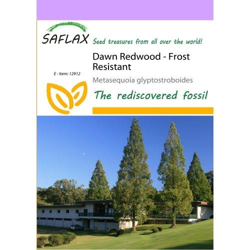 Saflax  - Dawn Redwood - Metasequoia Glyptostroboides - 60 Seeds