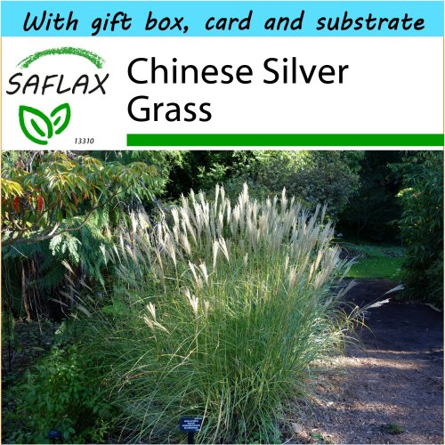 SAFLAX Gift Set - Chinese Silver Grass - Miscanthus sinensis - 200 seeds - With gift box, card, label and potting substrate