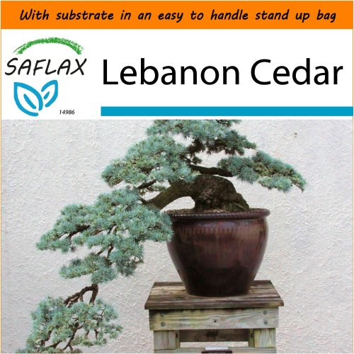 SAFLAX Garden in the Bag - Bonsai - Lebanon Cedar - Cedrus - 20 seeds