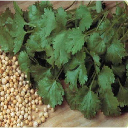 Organic Herb - Coriander - Cilantro - 600 Seeds