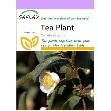 Saflax  - Tea Plant - Camelia Sinensis - 6 Seeds