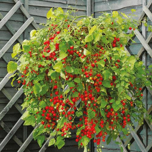 10 Hundreds & Thousands Tomato Seeds | Tomato Plant Seeds