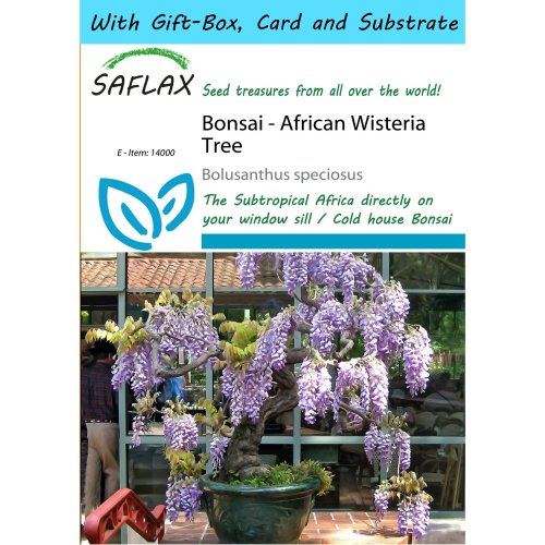 Saflax Gift Set - Bonsai - African Wisteria Tree - Bolusanthus Speciosus - 15 Seeds - with Gift Box, Card, Label and Potting Substrate