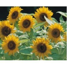 Flower - Sunflower Dwarf - Big Smile - 10 Seeds