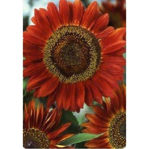 Flower - Sunflower - Red Sun - 25 Seeds