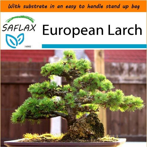 SAFLAX Garden in the Bag - Bonsai - European Larch - Larix - 75 seeds