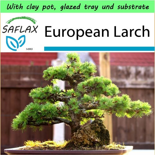 SAFLAX Garden to Go - Bonsai - European Larch - Larix - 75 seeds