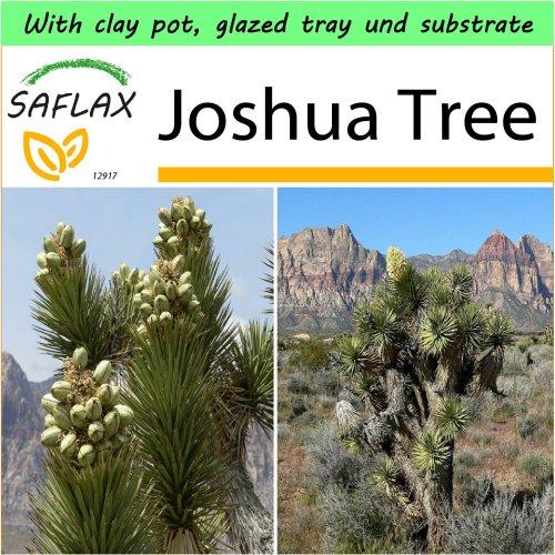 SAFLAX Garden to Go - Joshua Tree - Yucca - 10 seeds